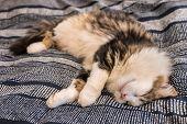 Tabby Ragdoll Cat Lying Down On Blue Bedding poster