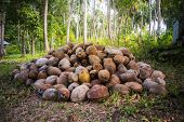 Fallen Coconut Around A Green Palm Tree. A Bunch Of Fallen Coconuts In A Palm Grove. Dry Coconuts In poster