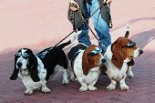 stock photo of dog-walker  - 3 basset hounds wearing sunglasses - JPG