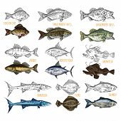 Set Of Isolated Sea Or Ocean Fish Side View. Sketches Of Crucian Carp And Smallmouth, Largemouth Bas poster