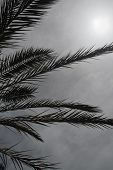 Palm Leaves Silhouette Against Gray Overcast Sky Thunderstorm Approaching poster