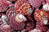 image of scallop shell  - Group of colorful purple scallop sea shells - JPG