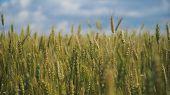 Wheat Ears In Field. Blue Sky, Clouds. Golden Wheat Field. Yellow Grain Ready For Harvest Growing In poster