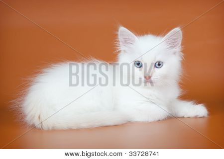 White Kitten On Orange Background