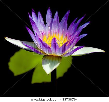 Blooming Serenity Lotus Closeup