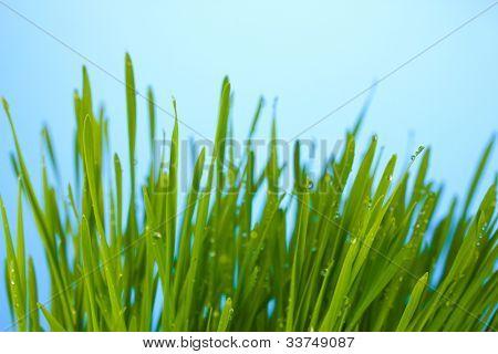 Green grass on blue dackground closeup
