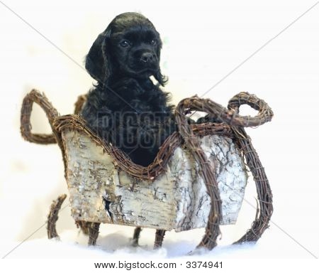 Black Spaniel Puppy In Sleigh