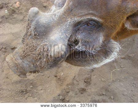 Brush An Ear Pig Potamochoerus Porcus