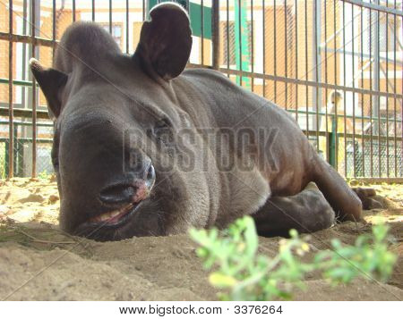 Flat, Tapir, Tapirus, Terrestris, Portrait, Eyes, Wool, Trunk, Hoofs, Not Artiodactyl, Animal, Anima