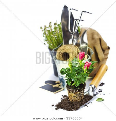 Beautiful pink roses and garden tools  isolated on white
