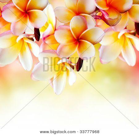 Flor de frangipani Spa Tropical. Plumeria fronteira Design