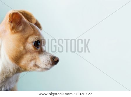 Chihuahua Looking To Right Side