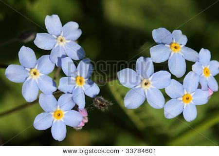 Blue Forget-me-not Flowers (Myosotis)