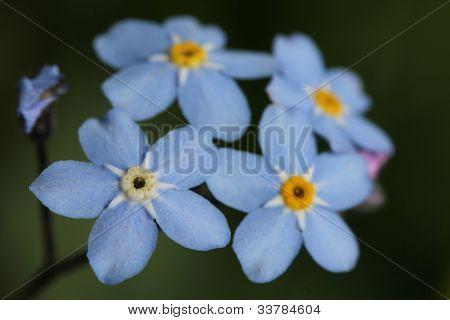 Forget-me-not Flowers (Myosotis)