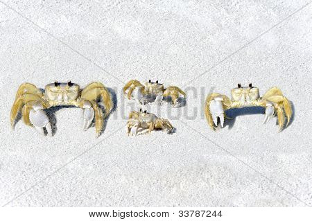 Yellow Fiddler Crab Family