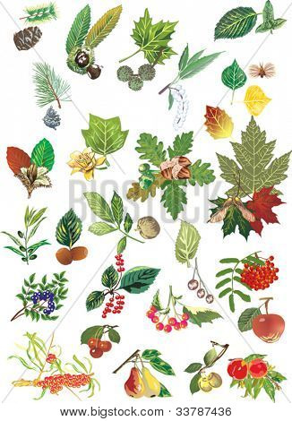 illustration with different trees leaves and fruits isolated on white background