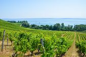 Green Vineyard On The Slope Above Neuchatel Lake In Switzerland. Photographed On A Sunny Summer Day. poster