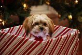 Christmas Dog. A beautiful Morkie half Maltese half Yorkie Puppy dog presented as a Christmas Gift u poster