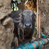 Closeup Face Of Egyptian Grey Buffalo Framed By Open Window Of Clay Stockyard In Traditional Egyptia poster