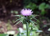 Silybum Marianum, Also Known As A Holy Thistle In Full Splendor .this Species Is An Annual Or Bienni poster