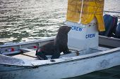 A Cape Fur Seal Posing As Crew On A Fishing Boat In Kalk Bay Harbour, Cape Town, South Africa poster