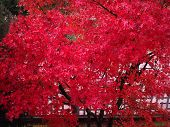 Red Maple Acer Tree poster