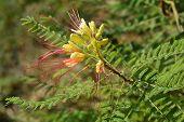 Bird Of Paradise Yellow Flowers - Latin Name - Caesalpinia Gilliesi (erythrostemon Gilliesii) poster
