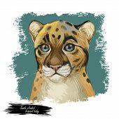 Sunda Clouded Leopard Baby Tabby Watercolor Portrait Closeup. Neofelis Diardi Animal From Feline Mam poster