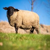 picture of suffolk sheep  - Suffolk black - JPG
