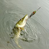 image of spinner  - The Pike on a spinner bait - JPG