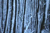 The Thick Dark Winter Forest In Snow poster