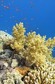 Colorful Coral Reef At The Bottom Of Tropical Sea, Yellow Broccoli Coral And Fishes Anthias, Underwa poster