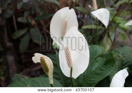Beautiful White Spathiphyllum Flower(peace Lily)