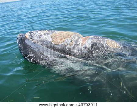 a gray whale with a propeller strike
