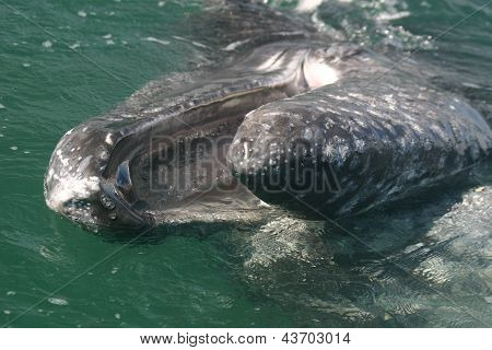 A gray whale with open mouth