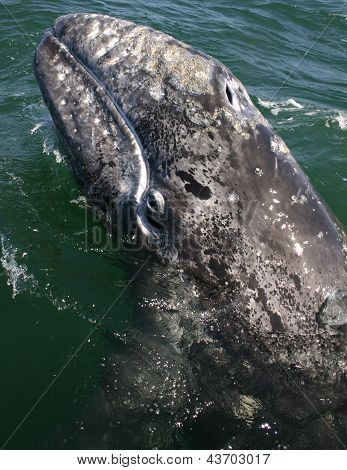 a baby gray whale surfaces i Mexico
