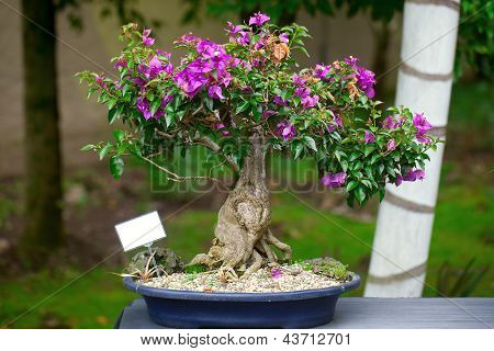 Beautiful Bonsai Bougainvillea In A Botanical Garden