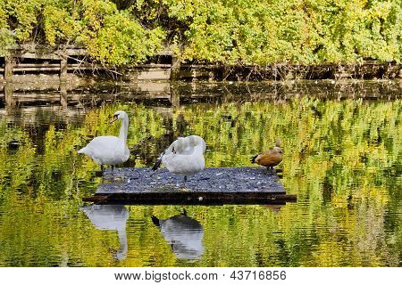 Autumn Reflections Of Swans And Ducks