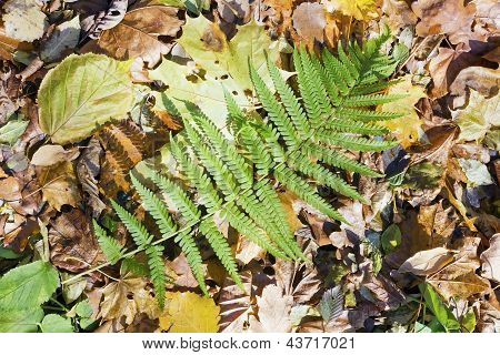 Green Leaf Of Wild Fern
