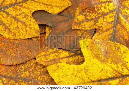 Autumn Yellow Tuliptree Leaves  Background