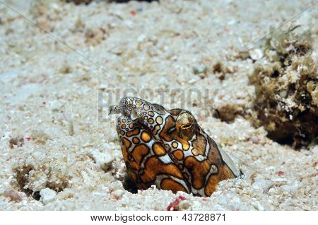 Clown Snake Eel