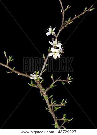 Blackthorn Over Black - Prunus Spinosa In Early Spring, Leaves And Flowers