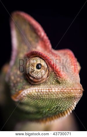 Closeup of chameleon
