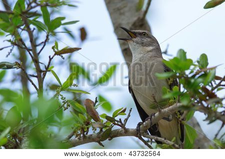 Northern Mocking Bird (mimus Polyglottos)
