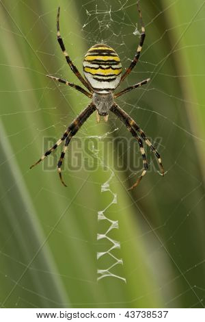 Yellow-black Spider In  Spiderweb