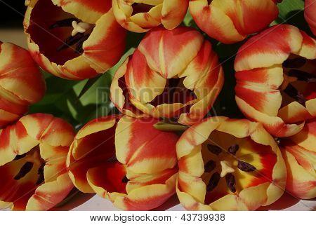 Tulipanes frescos en la luz del sol