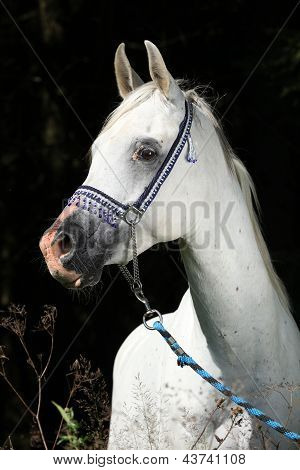 Nice Arabian Stallion With Show Halter