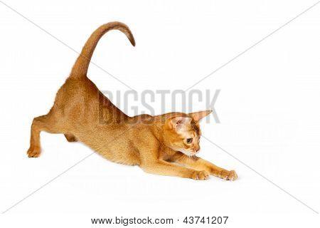 Acedera gato abisinio