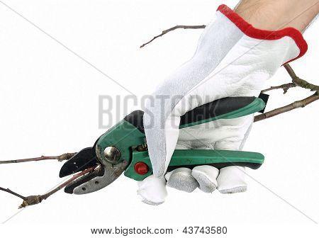 Secateurs pruning