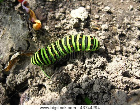 larva of the butterfly machaon on the stone